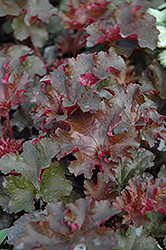 Crimson Curls Coral Bells (Heuchera 'Crimson Curls') at Bayport Flower Houses