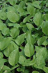 Royal Standard Hosta (Hosta 'Royal Standard') at Bayport Flower Houses