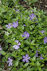 Common Periwinkle (Vinca minor) at Bayport Flower Houses