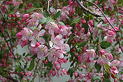 Louisa Flowering Crab (Malus 'Louisa') at Bayport Flower Houses