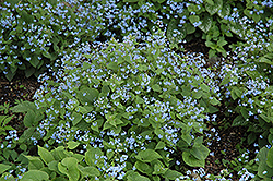 Siberian Bugloss (Brunnera macrophylla) at Bayport Flower Houses