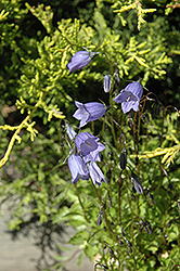 Bavaria Blue Creeping Bellflower (Campanula cochleariifolia 'Bavaria Blue') at Bayport Flower Houses