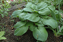 Fried Green Tomatoes Hosta (Hosta 'Fried Green Tomatoes') at Bayport Flower Houses
