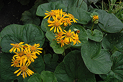 Desdemona Rayflower (Ligularia dentata 'Desdemona') at Bayport Flower Houses