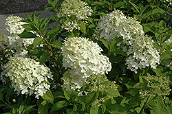 Little Lamb Hydrangea (Hydrangea paniculata 'Little Lamb') at Bayport Flower Houses