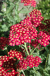 Red Velvet Yarrow (Achillea millefolium 'Red Velvet') at Bayport Flower Houses