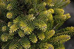 Golden Korean Fir (Abies koreana 'Aurea') at Bayport Flower Houses
