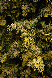 Golden Hinoki Falsecypress (Chamaecyparis obtusa 'Aurea') at Bayport Flower Houses