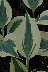 Blue Ivory Hosta (Hosta 'Blue Ivory') at Bayport Flower Houses