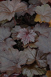 Blackout Coral Bells (Heuchera 'Blackout') at Bayport Flower Houses