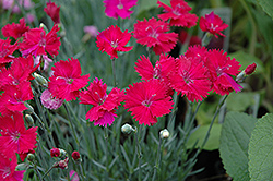 Neon Star Pinks (Dianthus 'Neon Star') at Bayport Flower Houses
