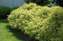 Dwarf Golden Sawara Falsecypress (Chamaecyparis pisifera 'Aurea Nana') at Bayport Flower Houses