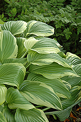 Ellerbroek Hosta (Hosta 'Ellerbroek') at Bayport Flower Houses