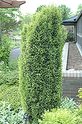 Gold Cone Juniper (Juniperus communis 'Gold Cone') at Bayport Flower Houses