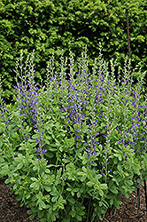 Blue Wild Indigo (Baptisia australis) at Bayport Flower Houses