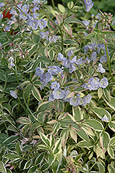 Touch Of Class Jacob's Ladder (Polemonium reptans 'Touch Of Class') at Bayport Flower Houses