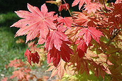 Autumn Moon Full Moon Maple (Acer shirasawanum 'Autumn Moon') at Bayport Flower Houses