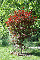 Crimson Prince Japanese Maple (Acer palmatum 'Crimson Prince') at Bayport Flower Houses