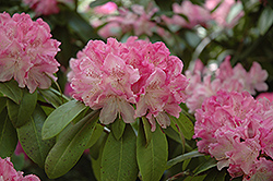 Holden Rhododendron (Rhododendron 'Holden') at Bayport Flower Houses
