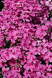 Red Wings Moss Phlox (Phlox subulata 'Red Wings') at Bayport Flower Houses