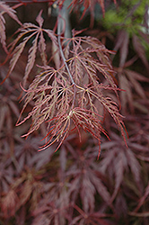 Red Select Japanese Maple (Acer palmatum 'Red Select') at Bayport Flower Houses
