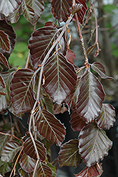 Purple Fountain Beech (Fagus sylvatica 'Purple Fountain') at Bayport Flower Houses