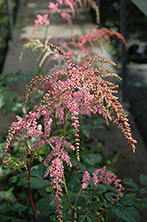 Ostrich Plume Astilbe (Astilbe x arendsii 'Ostrich Plume') at Bayport Flower Houses