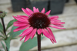 Big Sky After Midnight Coneflower (Echinacea 'Big Sky After Midnight') at Bayport Flower Houses