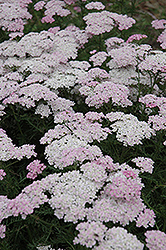 Wonderful Wampee Yarrow (Achillea millefolium 'Wonderful Wampee') at Bayport Flower Houses