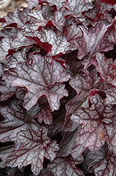 Dolce® Black Currant Coral Bells (Heuchera 'Black Currant') at Bayport Flower Houses