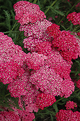 Saucy Seduction Yarrow (Achillea millefolium 'Saucy Seduction') at Bayport Flower Houses