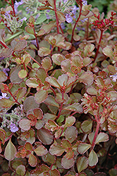 Bronze Carpet Stonecrop (Sedum spurium 'Bronze Carpet') at Bayport Flower Houses