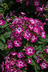 Volcano Purple Garden Phlox (Phlox paniculata 'Volcano Purple') at Bayport Flower Houses