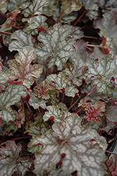 Can Can Coral Bells (Heuchera 'Can Can') at Bayport Flower Houses