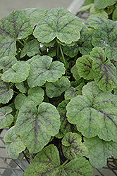 Running Tapestry Foamflower (Tiarella cordifolia 'Running Tapestry') at Bayport Flower Houses