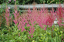 Visions in Pink Chinese Astilbe (Astilbe chinensis 'Visions in Pink') at Bayport Flower Houses