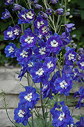 Blue Bird Larkspur (Delphinium 'Blue Bird') at Bayport Flower Houses
