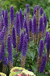 Royal Candles Speedwell (Veronica spicata 'Royal Candles') at Bayport Flower Houses