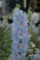 Magic Fountains Sky Blue Larkspur (Delphinium 'Magic Fountains Sky Blue') at Bayport Flower Houses