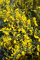 Scotch Broom (Cytisus scoparius) at Bayport Flower Houses