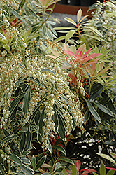 Flaming Silver Japanese Pieris (Pieris japonica 'Flaming Silver') at Bayport Flower Houses