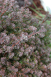 Red Star Whitecedar (Chamaecyparis thyoides 'Red Star') at Bayport Flower Houses