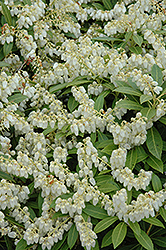 Cavatine Dwarf Japanese Pieris (Pieris japonica 'Cavatine') at Bayport Flower Houses