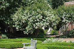 Natchez Crapemyrtle (Lagerstroemia 'Natchez') at Bayport Flower Houses
