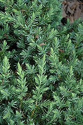 Blue Pacific Shore Juniper (Juniperus conferta 'Blue Pacific') at Bayport Flower Houses