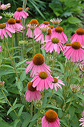 Kim's Knee High Coneflower (Echinacea 'Kim's Knee High') at Bayport Flower Houses