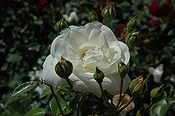 White Dawn Rose (Rosa 'White Dawn') at Bayport Flower Houses
