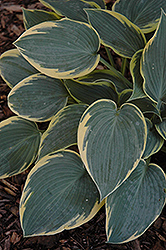 First Frost Hosta (Hosta 'First Frost') at Bayport Flower Houses
