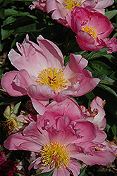 Pink Dawn Peony (Paeonia 'Pink Dawn') at Bayport Flower Houses