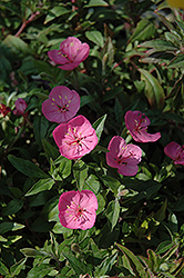 Growing Magenta Dwarf Sundrops (Oenothera 'Glowing Magenta') at Bayport Flower Houses